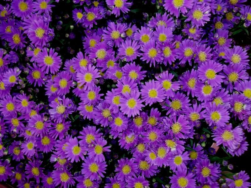 Purple Aster Flower